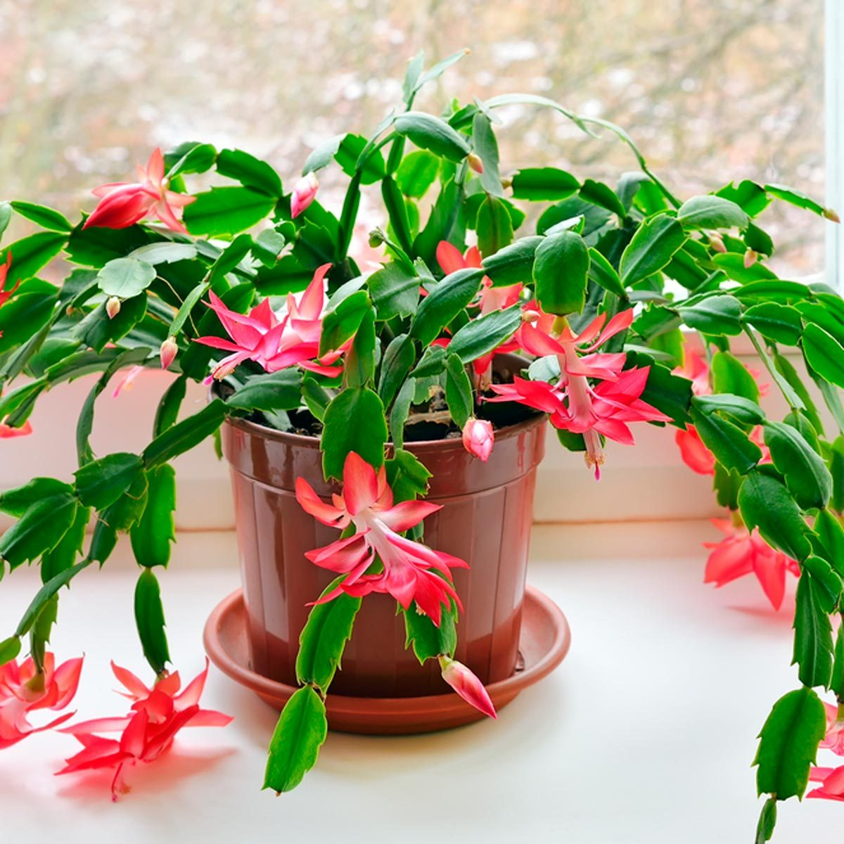 What Is A Christmas Cactus Family Handyman