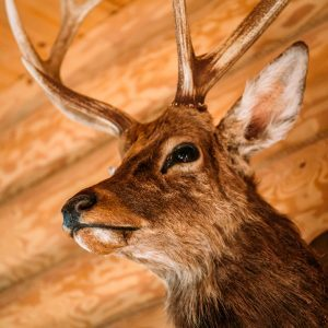 How to Care for Your Taxidermy Mounts
