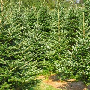 You Can Now Order a Fresh Christmas Tree on Amazon