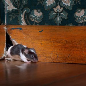 10 Crazy Things Mice Have Done in Homes