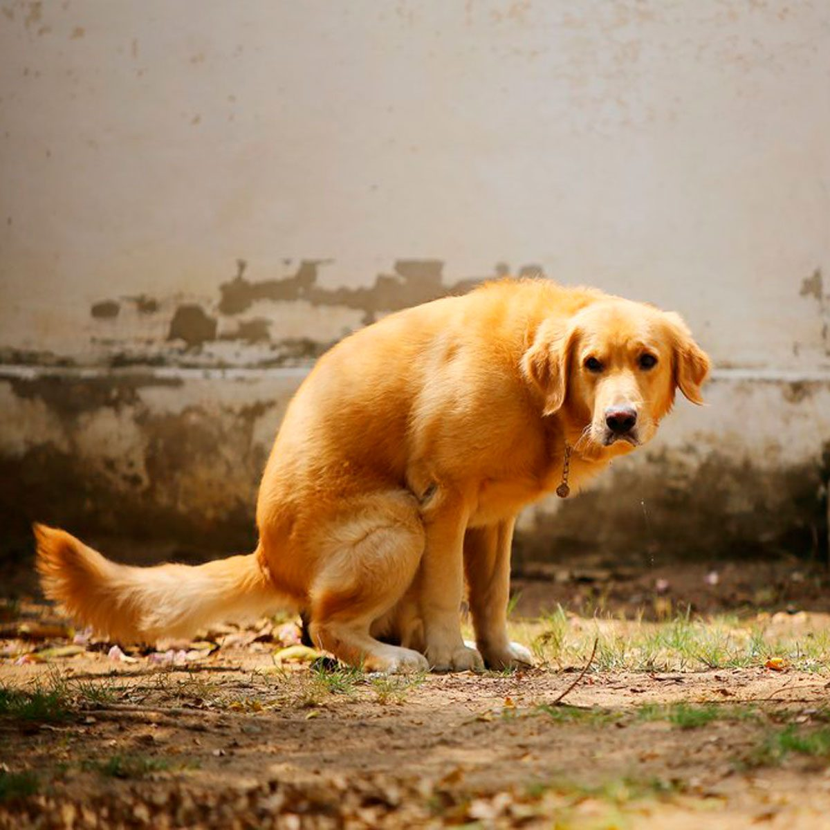 Dog Has Diarrhea On Rug: This Is Why Dogs Spin Around Before They Poop