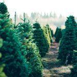 Do Real Christmas Trees Harbor Bugs?
