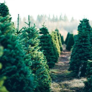 Do Real Christmas Trees Harbor Bugs?