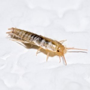 Why are There Silverfish Under My Sink?