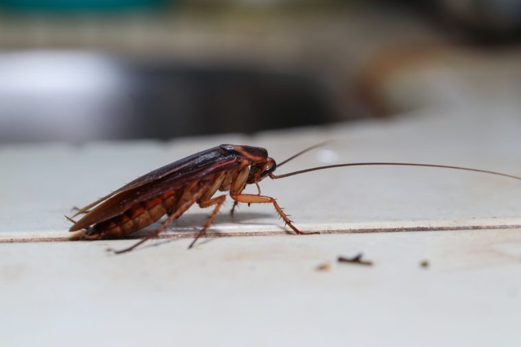 Dying cockroach Blattodea crawling around the kitchen, isolated,