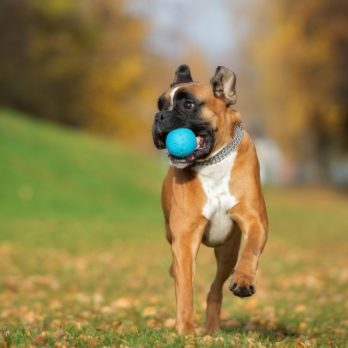 happy german boxer dog playing with a ball in autumn