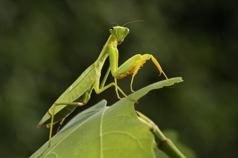 Mantis from family Sphondromantis (probably Spondromantis viridis) lurking on the green leaf