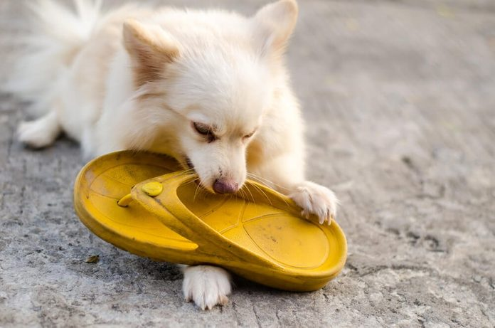 Dog pomeranian playing with flipflop yellow - corrode or bite it
