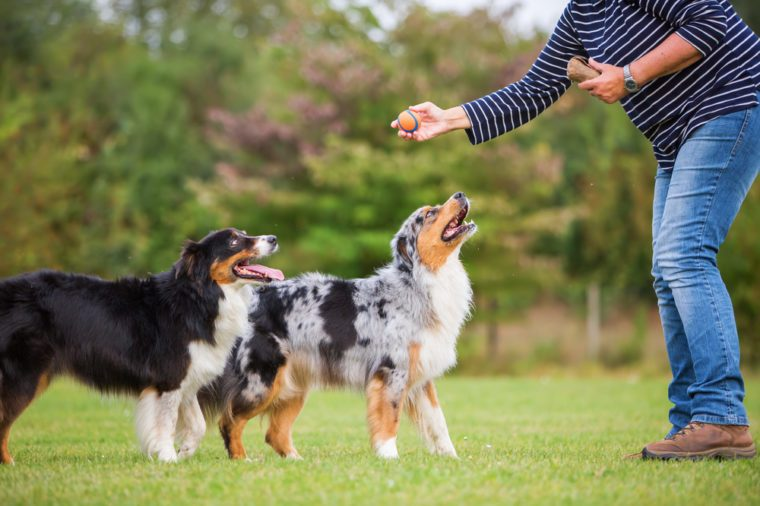woman trains with two Australian Shepherd dogs on a dog training field