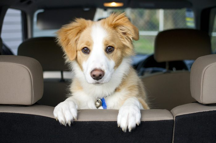 Border Collie puppy sitting looking over the seat waiting close up