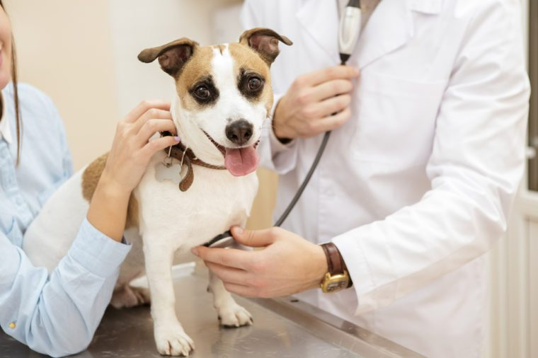 Fearless patient. Cropped closeup of a cute jack russel terrier looking to the camera while the vet is checking on his heartbeat with a stethoscope people animals care pets love medicine concept