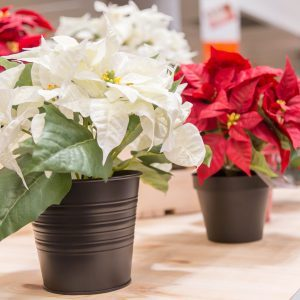 5 Things You Didn't Know About Poinsettias