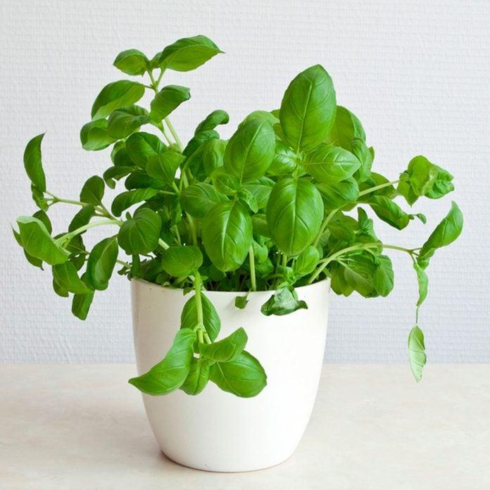 basil plant indoors