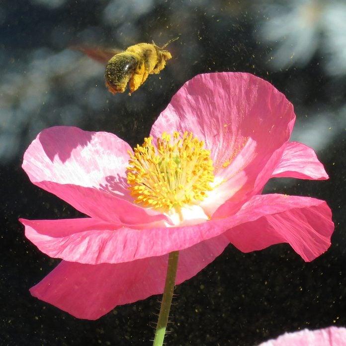 pollen allergens bee flower