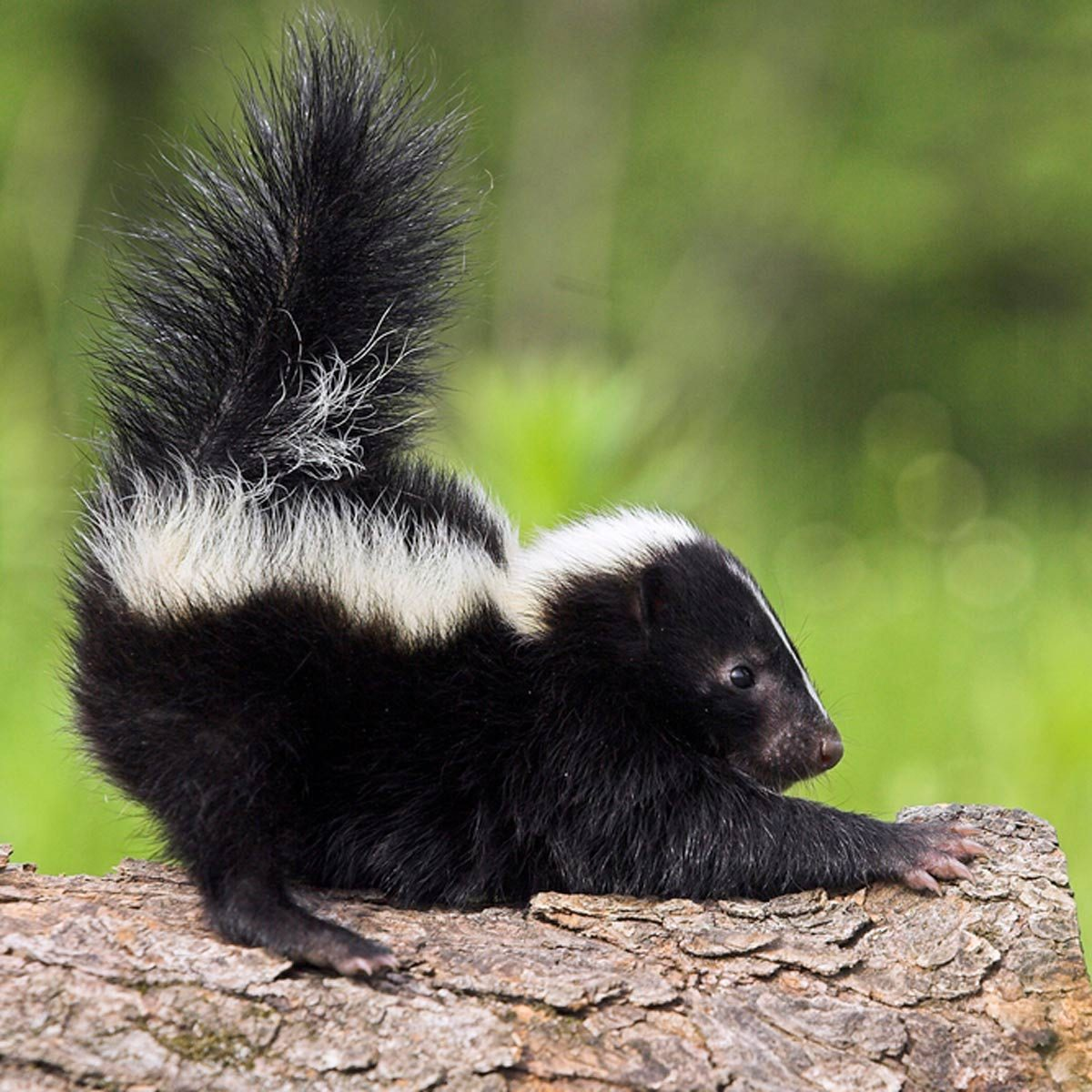 How To Get Rid Of Skunk Smell Family Handyman