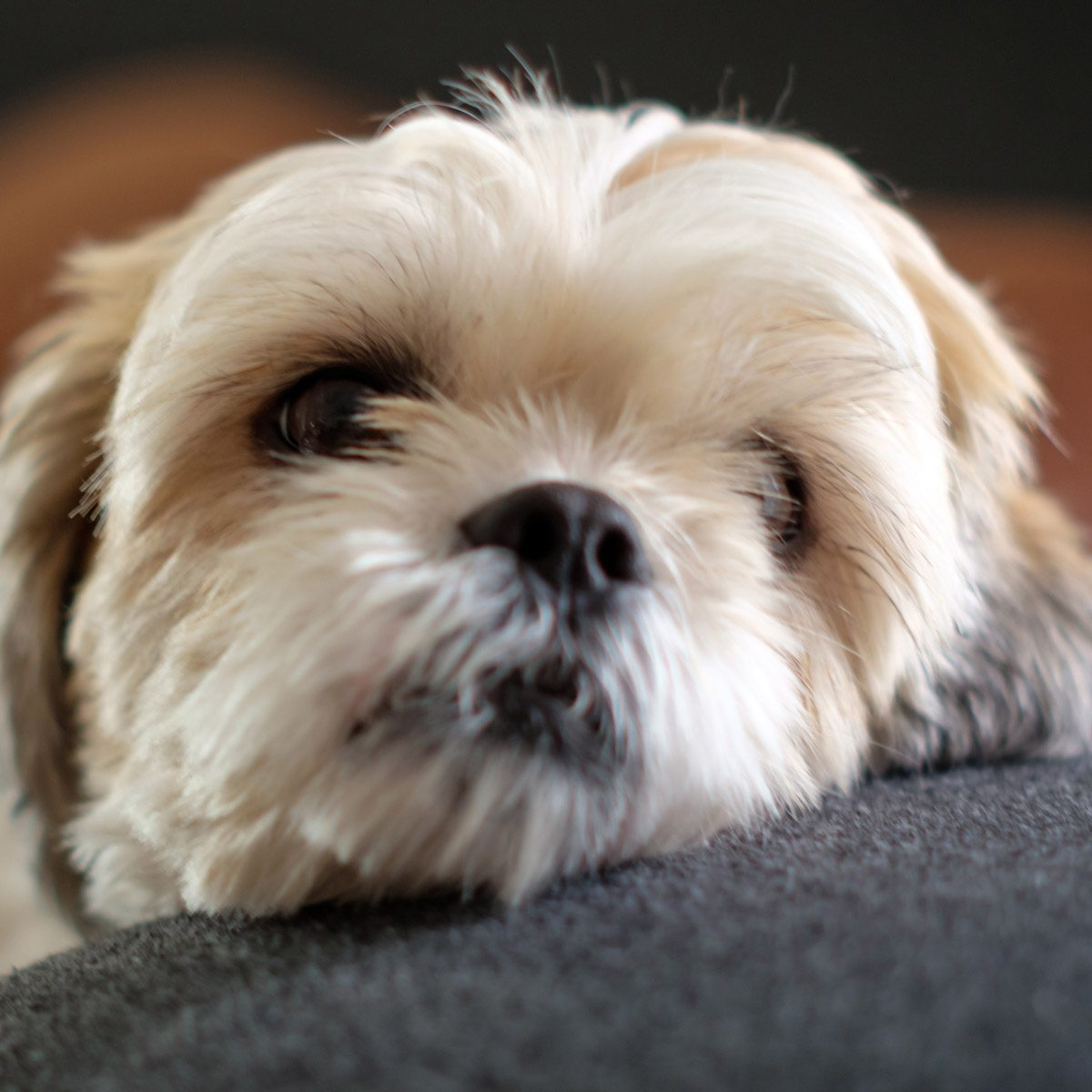 Close-up-White-shih-tzu-laying-on-the-floor