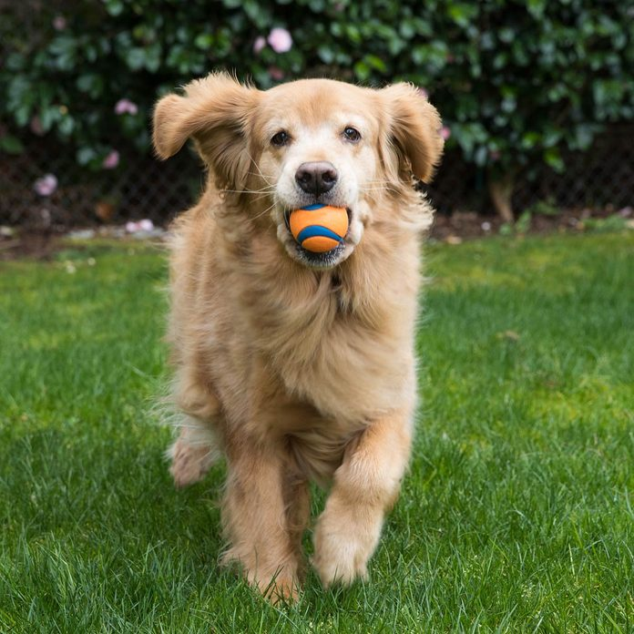 Happy-Golden-Retriever-Dog-playing-fetch-with-a-ball