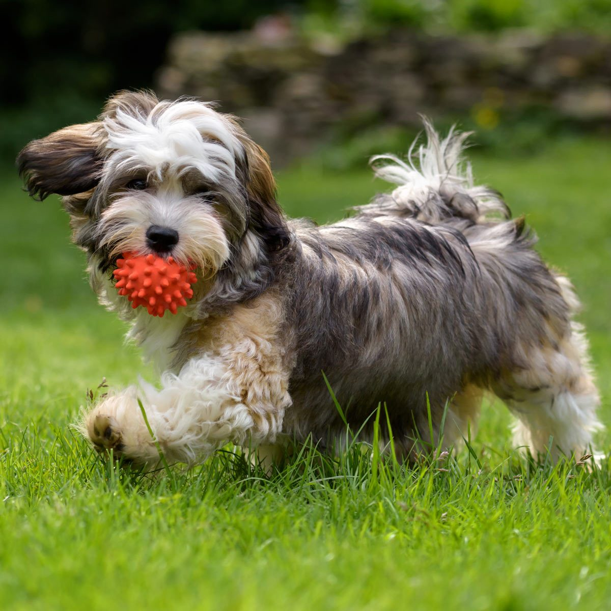 Playful-havanese-puppy-dog-walking-with-a-red-ball-in-his-mouth-in-the-grass