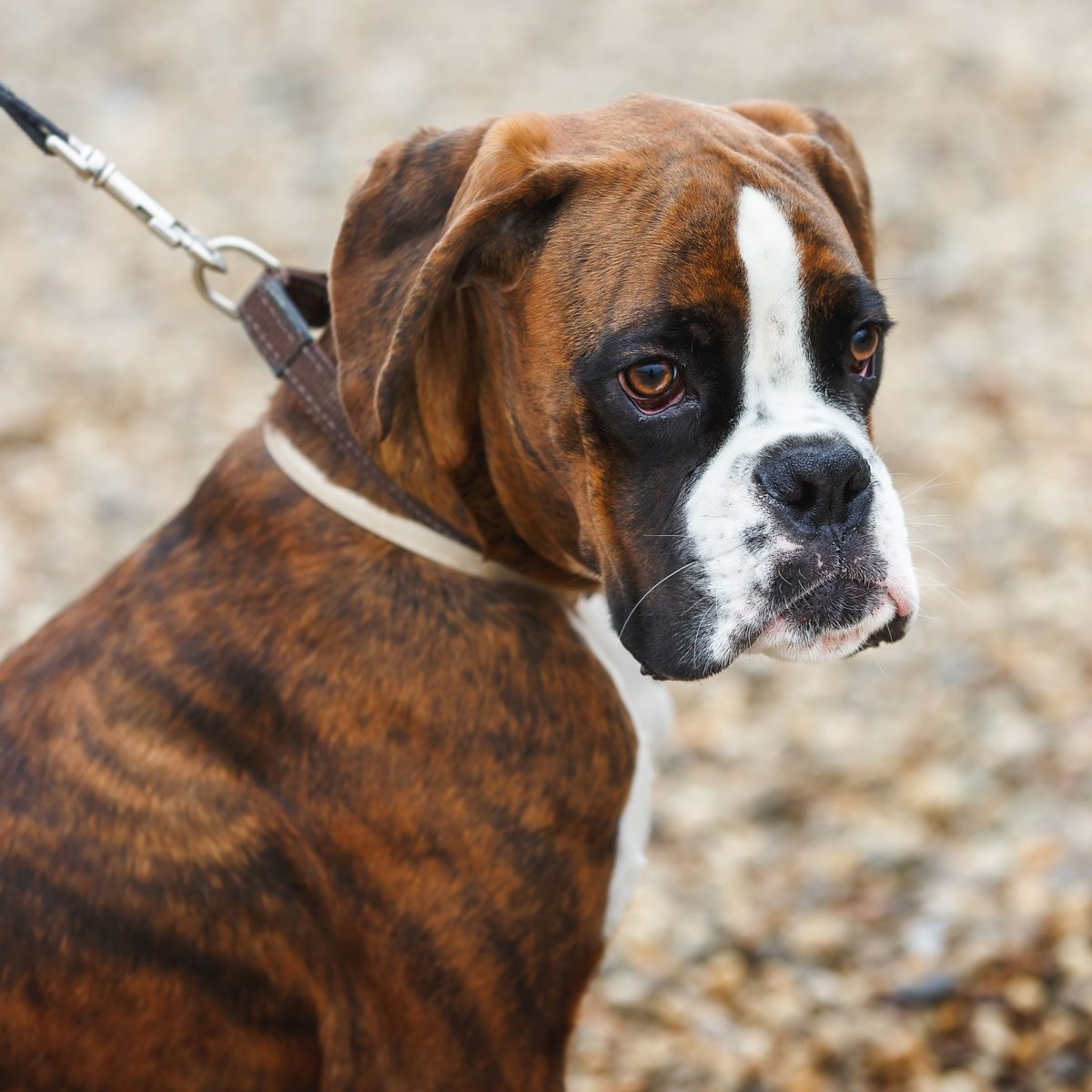 Portrait-of-boxer-puppy-dog-on-the-beach