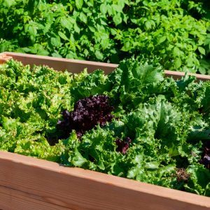 How to Grow a Salad Garden
