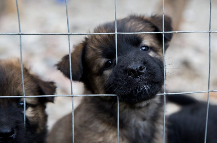 Sweet rescued dog puppy's brothers behind the kennel waiting for friend in south Italy.