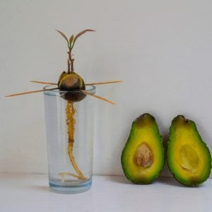 How to Grow Avocado at Home