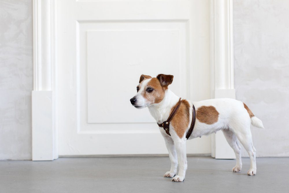 Adorable little dog in harness standing near closed door in stylish room