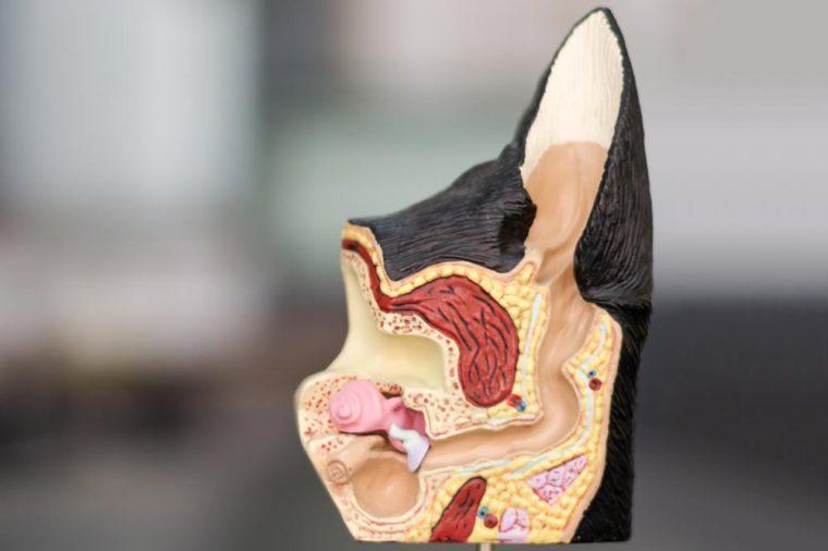 dog ear anatomy mold