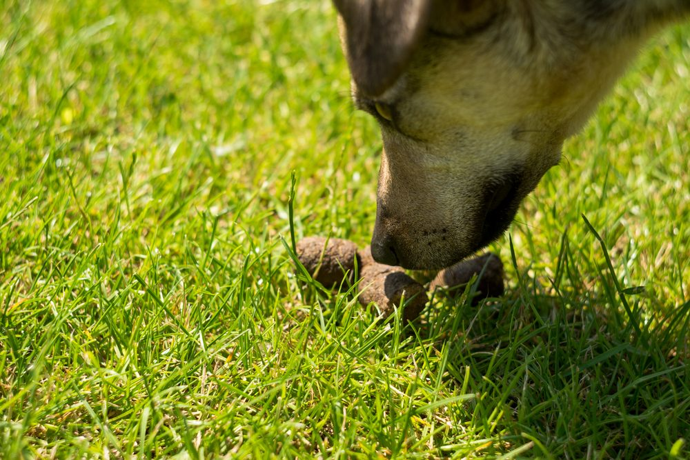 This Is Why Your Dog Likes To Eat Its Poop