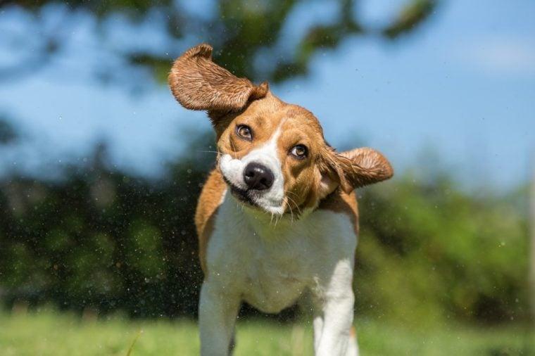 Wet Beagle dog shaking his head