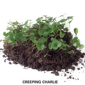 weed killer for lawns - broadleaf weeds