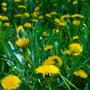 Why Are There Yellow Flowers in My Grass?