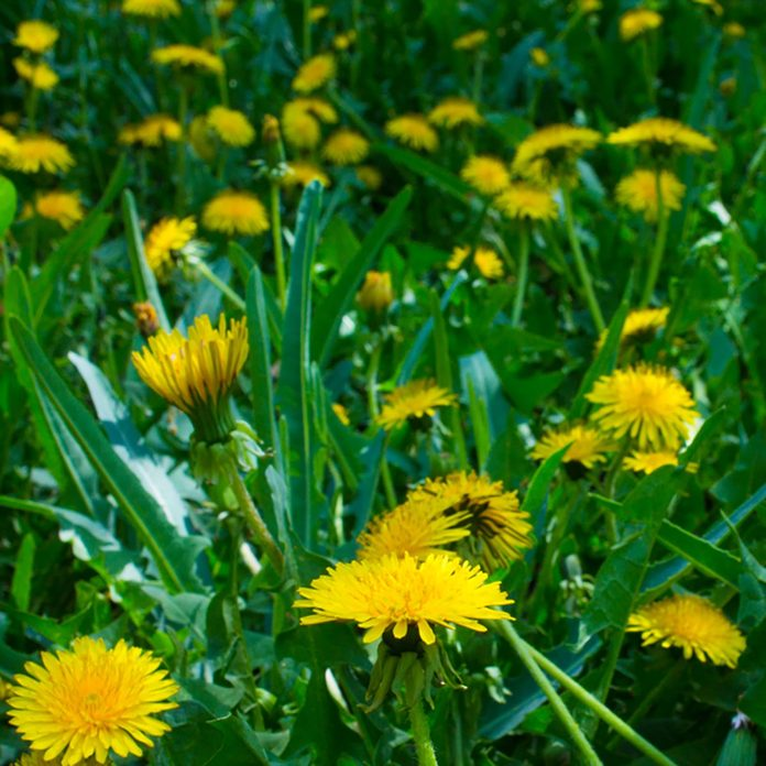 RUSSIA, PALLASOVKA - MAY 12, 2018: Dandelions on the field; Shutterstock ID 1088976542; Job (TFH, TOH, RD, BNB, CWM, CM): TOH