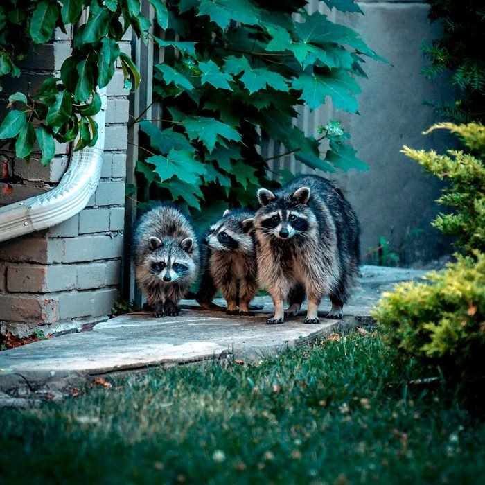 Keep Raccoons Out
