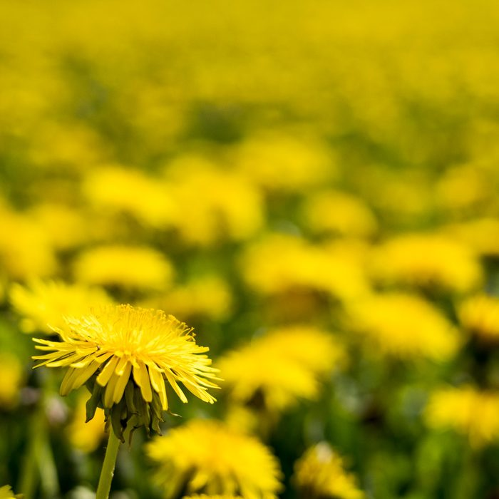 Close up of field of Dandelions with bright yellow blossoms