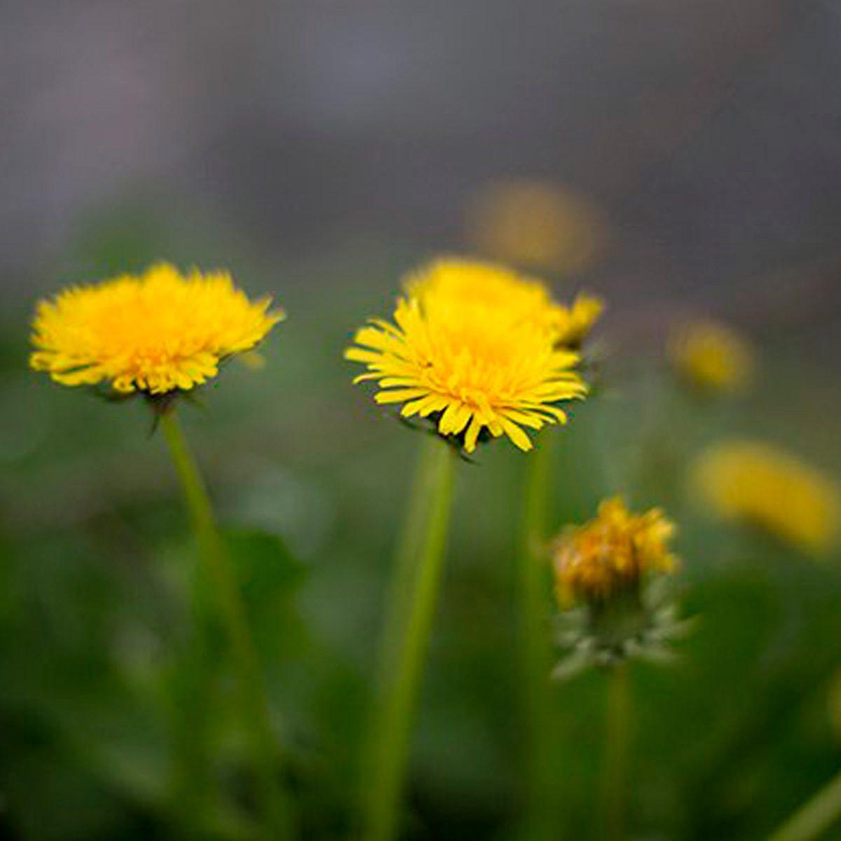 7 Surprising Facts About Dandelions