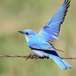 8 Surprising Facts You Didn't Know About Bluebirds