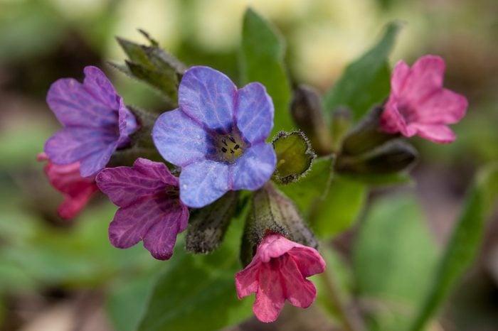 Pulmonaria Flowers lungwort medicinal plant