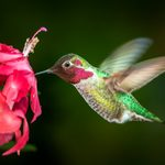 How to Attract Hummingbirds to Your Balcony