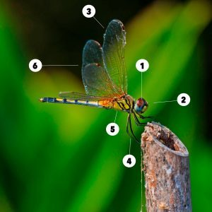 Fascinating Facts About Dragonflies