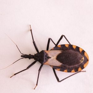 What is the Deadly Kissing Bug?