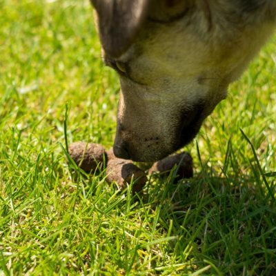 Dog-sniffs-dog-poop-in-grass