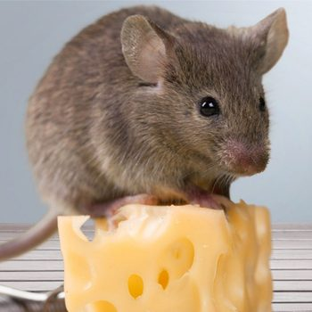 A Surprising Hack to Keep Mice Away For Good