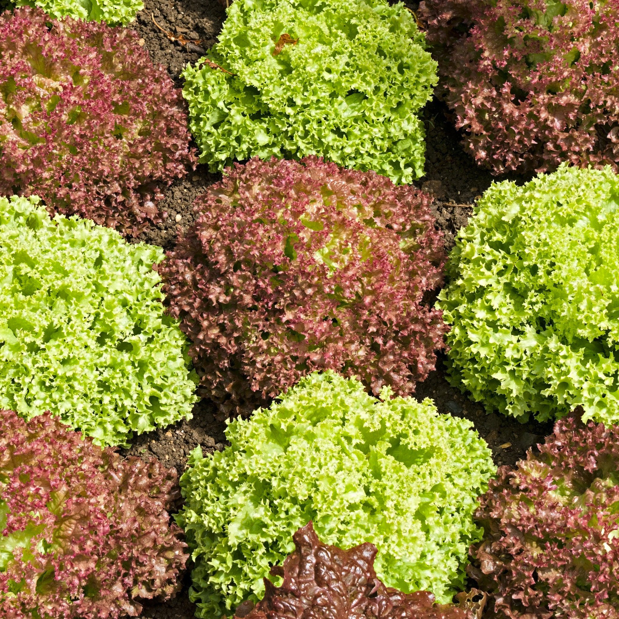 Green Lollo bionda and red Lollo rossa lettuces growing in a checkerboard pattern in vegetable salad garden, Rutland, England, UK.; Shutterstock ID 1401310733; Job (TFH, TOH, RD, BNB, CWM, CM): TOH Edible Landscaping