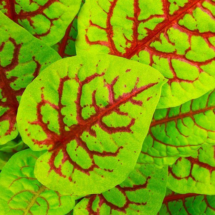 Red veined sorrel or Bloody sorrel or Rumex sanguineus.