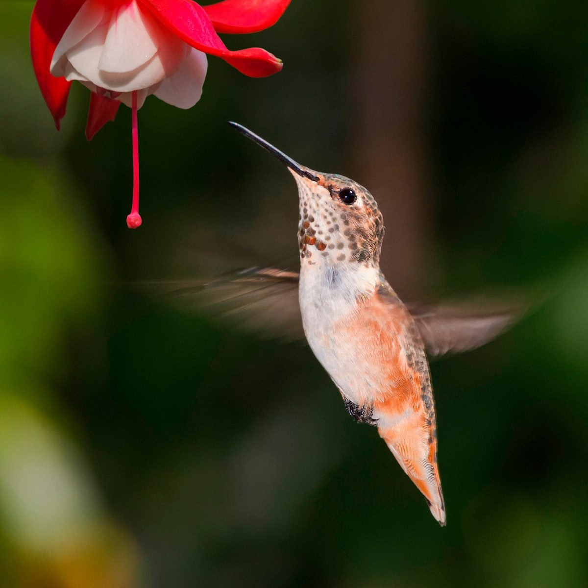 10 incredible hummingbird species you could see in your