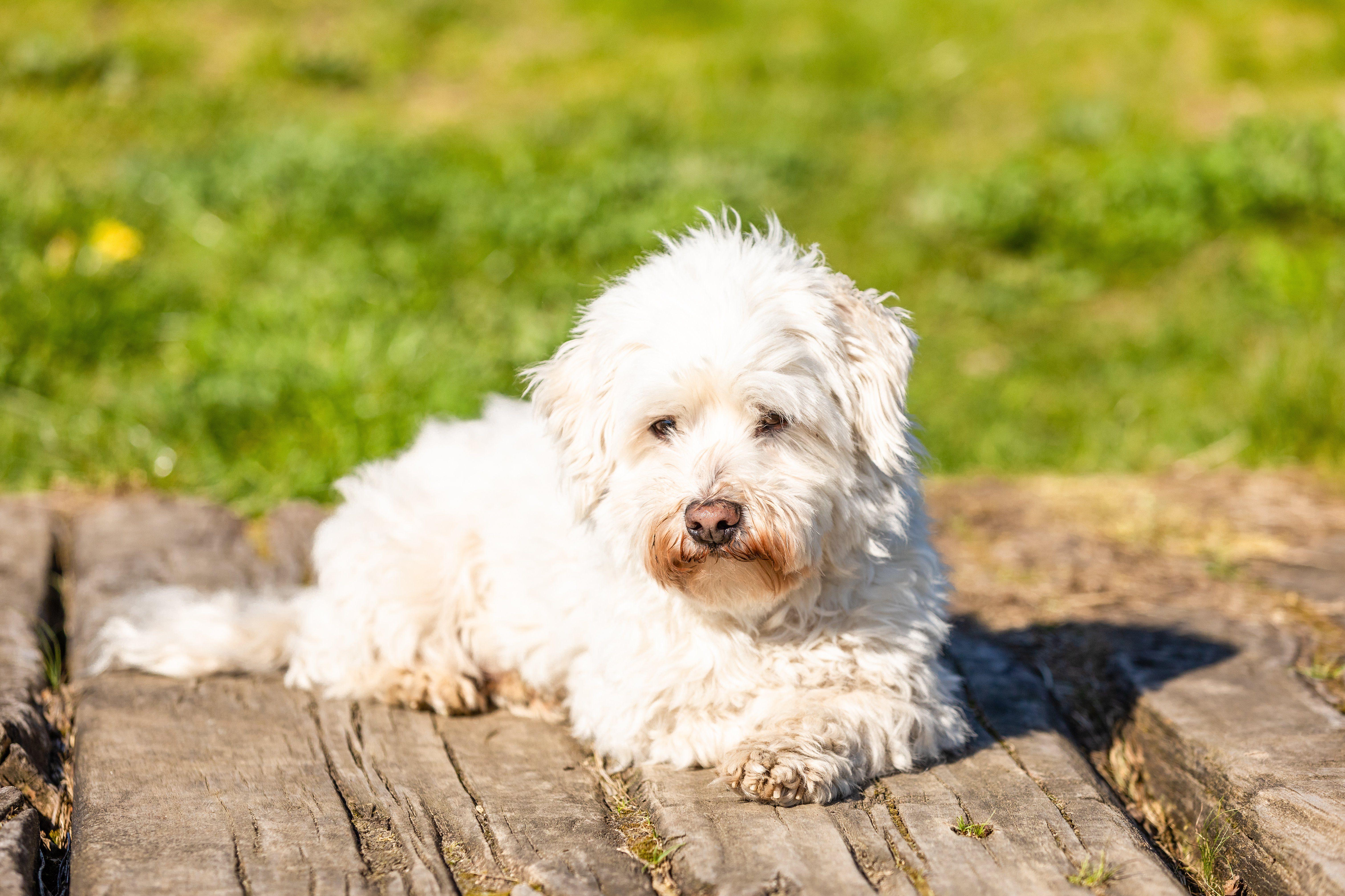 Coton de Tulear dog lying outdoors in the sun