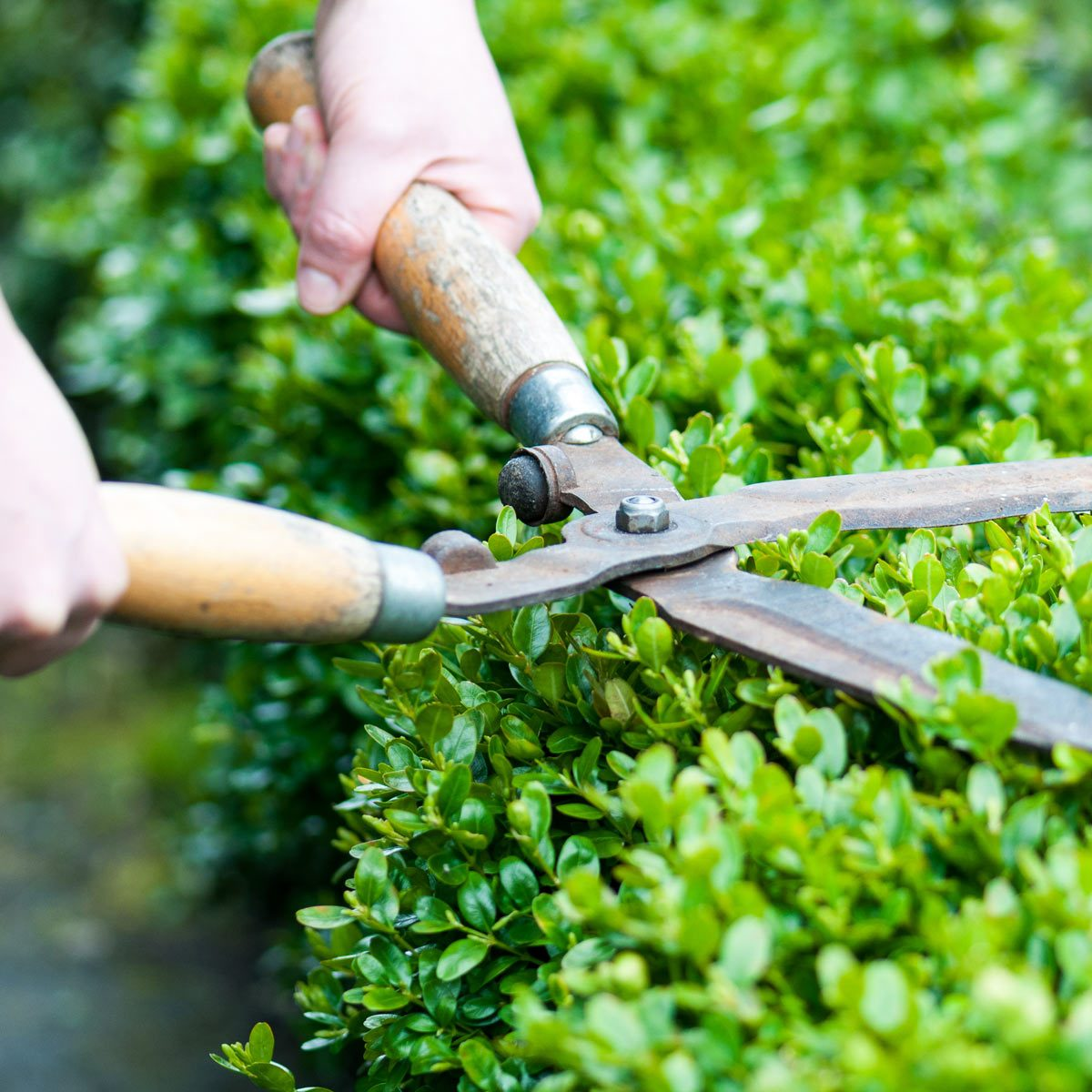 Man-trims-hedge-with-shears