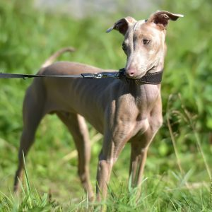 Peruvian Hairless Dog (Peruvian Inca Orchid, the Inca Hairless Dog).