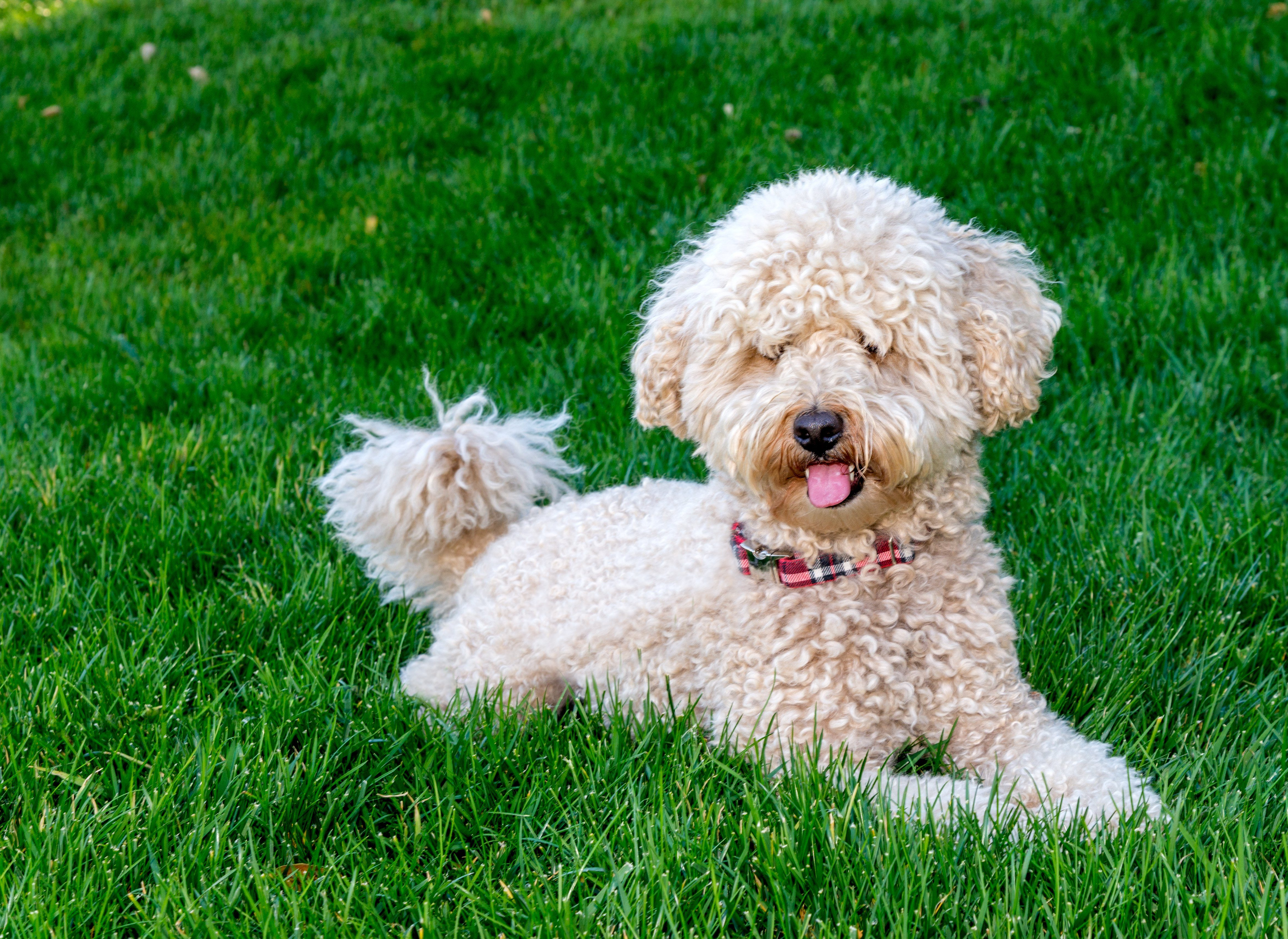 Goldendoodle dog sitting on grass field. The Goldendoodle is a mix hybrid breed between a poodle and a golden retriever